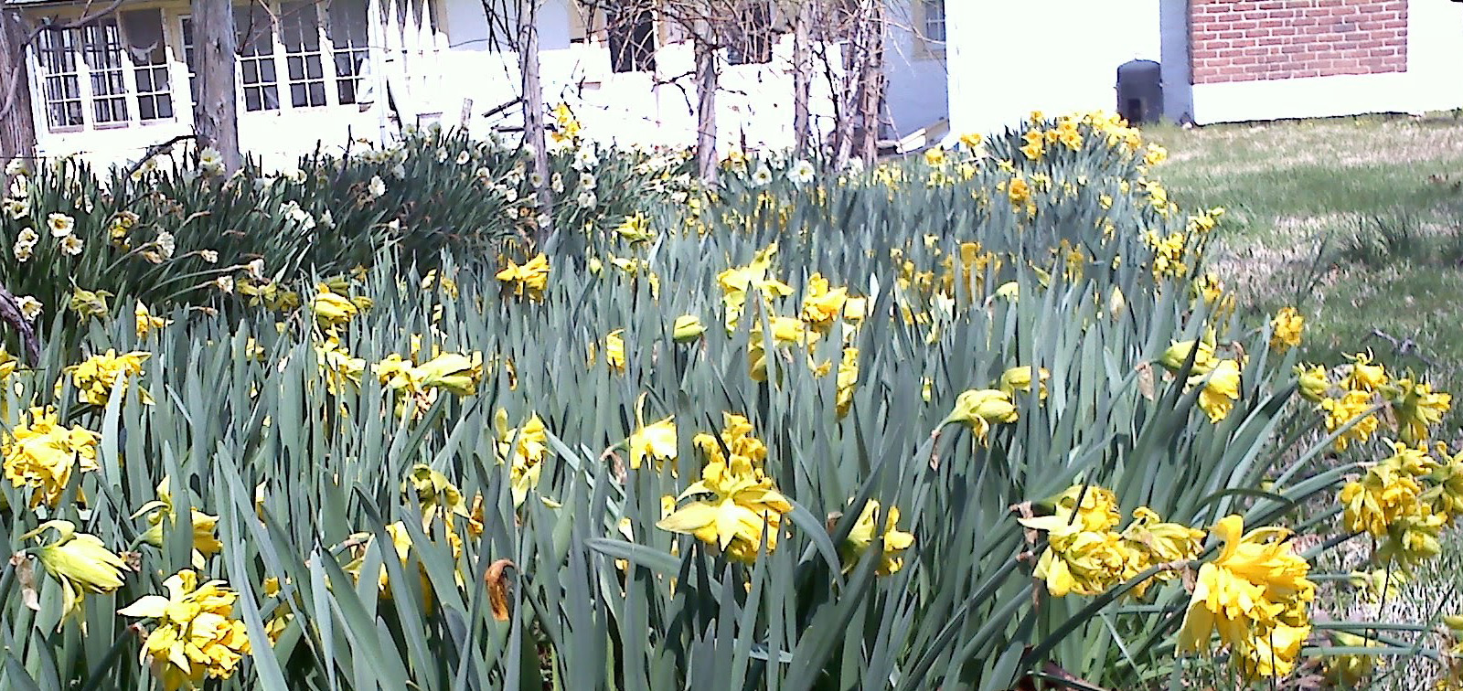 photo of daffodils at the Penrose-Strawbridge House in Horsham